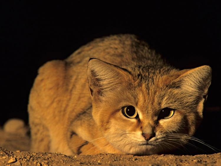 فيديو ظهور قط الرمال العربى النادر بعد غياب 10 سنوات يحب التخفي ولا يظهر إلا في الليل